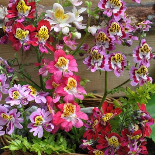 Environ 4000 Graines Ailes D/'Ange Mélange Fleur Schizanthus