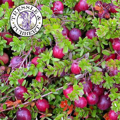 Rare Large American Cranberry Fruit Vaccinium Macrocarpon 10 seeds UK SELLER