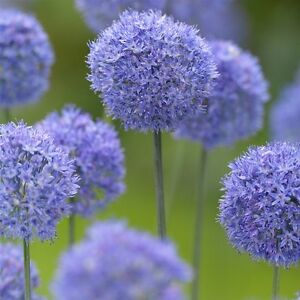 10 X Humphreys Garden Allium Caeruleum Bulbsautiful Pretty Spring