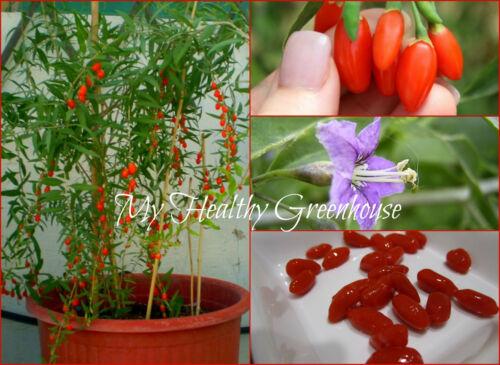 "SEEDS Dwarf Goji Berry ""Chaiqi"" Lycium barbarum Chinese Variety Self-Fertile"