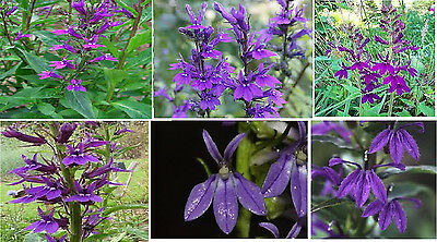 PRETTY PURPLE LOBELIA FLOWER 100 + SEEDS 4 U TO PLANT