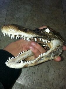 4-5-inch-Alligator-head-from-a-3-foot-gator-skull-real-taxidermy-reptile-S