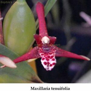 TS1020-59-Maxillaria-tenuifolia-variegated-Bare-Root-T589
