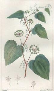 Decoration-Botanique-Fleur-Salsepareille-gravure-Pierre-Jean-Francois-Turpin