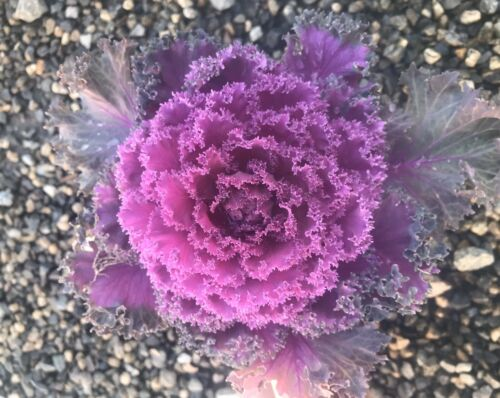"""Live Planted 4"""" Pot  Red Kale Ornamental Flowering Cabbage Cold Hardy Showy Easy"""