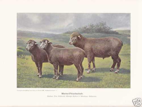 Merino Sheep Merino Sheep Breeds Colour Printing 1925 Reprint