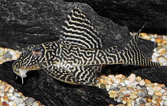 Hypancistrus sp. L066 (King Tiger Pleco, L-Number, Catfish)