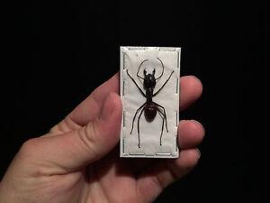 Entomologie-Insecte-Enorme-Fourmis-Camponotus-gigas-soldat-A1-etale