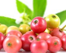 süß-saftig • Jamaica-Kirsche • 25+ Samen/seeds •Muntingia calabura•Panama-Beeren