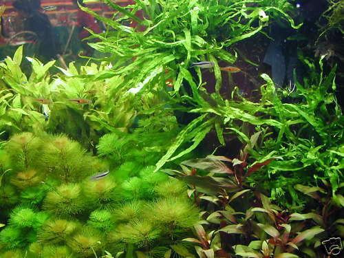 1 lot de 200 brins de plante  pour aquarium made in France +