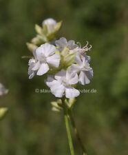 Pechnelke Lychnis viscaria 6 Pflanzen im 5//6 cm Topf