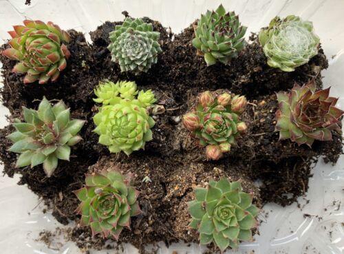 10 Small Sempervivum Succulent Houseleek Hen /& Chicks Plug Plants Wedding Favour