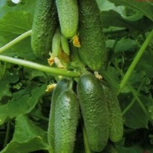 Vegetable Seeds Cucumber Buyan F1 NON GMO Hybrid