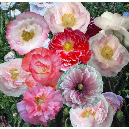 BULK SHIRLEY CORN POPPY FLOWER SEEDS