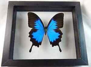 Beautiful Blue Morpho Butterfly Black Frame Double Pane Glass W