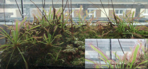 Roter Sonnentau Drosera Carnivore mit Orchideenduft Samen Fängt Ungeziefer
