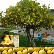 American Big Lemon Tree Seeds ( 100% Heirloom Fruit Seeds ) Pack 25 seeds