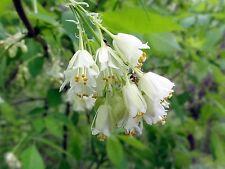 5 AMERICAN BLADDERNUT Tree Staphylea Trifolia Shrub Green Pod White Flower Seeds