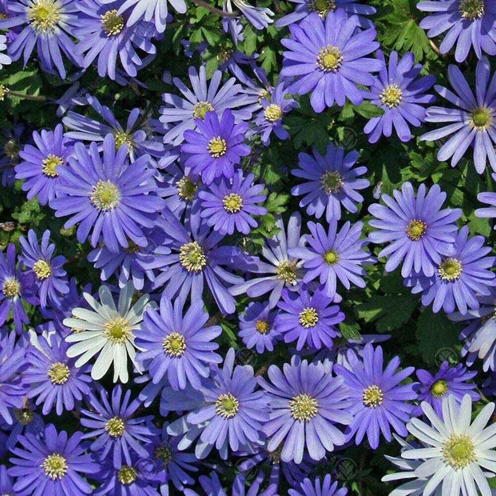 Anemone Blanda Blue Early Spring Flowering Garden Bulbs Indoor Outdoor Plants
