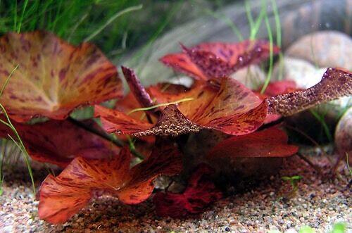 Red Tiger Lotus Nymphaea Live Bulb Aquarium Plant Tropical Lily
