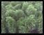 Arborvitae-Thuja-Emerald-Green-Lot-of-2-Starter-Plants thumbnail 2