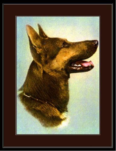 English Print German Shepherd Dog Puppy Head Shot Art Vintage Picture Poster
