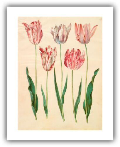 "/""Tulipa gesneriana/"" 1649-1659 — Giclee Fine Art Print Gottorfer Codex"