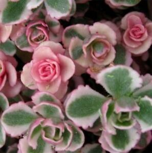 PINK-SEDUM-spurium-variegatum-cream-amp-red-succulent-plant-in-135mm-pot