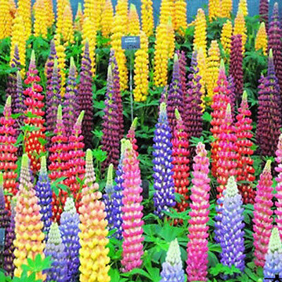 100 Mixed Russell Lupine Seeds Lupinus Beautiful Polyphyllus Flower Garden JIANS