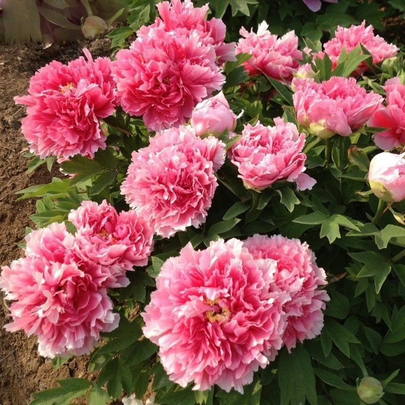 15PCS Different Breed Peony Seed Garden Plants Ornamental Flowers Home Gardening