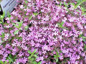 Saponaria-ocymoides-Jabonera-rocosa-500-semillas-Seeds-Soapwort