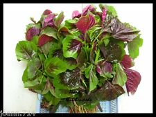 Chinese Greens Spinach vegetable, EDIBLE Red Strip AMARANTH :12000 seeds (10g)