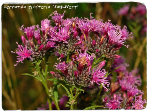 Serratula tinctoria /'Saw-Wort/' 20 SEEDS
