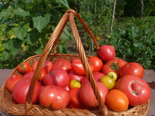 Tomaten Mix Überraschungspackung Stück Samen Saatgut 30