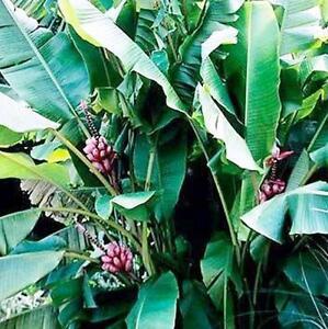 Musa-Banane-VELUTINA-Rosa-14-16-5-cm-Zwergbananen-essbar-f-Zimmer-MVY3690