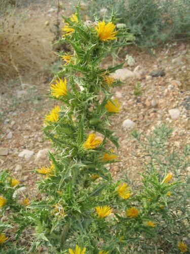 Scolymus Hispanicus 20 Samen Scolyme D/'Spanien N09 Golden Thistle Seeds