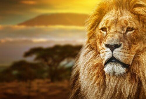 3D Sunset Big Lion 1333 Wallpaper Decal Dercor Home Kids Nursery Mural Home