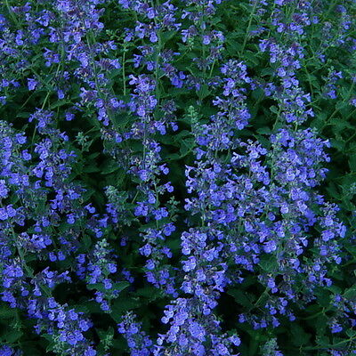 Blue Woodruff 20 Fresh Seeds Asperula Orientalis Blue Surprise