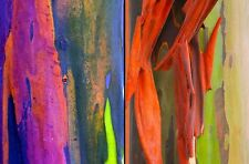 Eucalyptus Deglupta - Rainbow Gum - Rare Exotic Tropical Tree Bonsai Seeds (50)