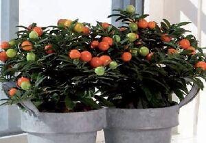 House Plant - Flower -Solanum sagitta lime - 40 Seeds - Large Pack