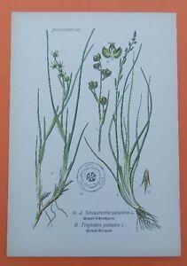 Sumpf-Dreizack-Triglochin-palustris-Blumenbinse-THOME-Lithographie-1890