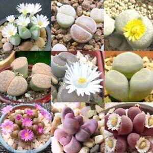 100-Rare-Mixed-Lithops-Seeds-Living-Stones-Succulent-Cactus-Organic-Bulk-Plant