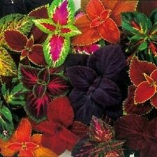 """50+ COLEUS """"RAINBOW MIX""""  SHADE LOVING FLOWER SEEDS / ANNUAL /GREAT GIFT"""
