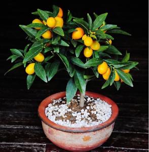 20pcs Kumquat Ftuit Seeds Rare Kind Pereninal Bonsai Tasty Garden Home Ebay