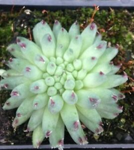 SEMPERVIVUM-GRIGGS-SURPRISE-Rare-Miniature-Succulent-Plant-Special-10-for-30