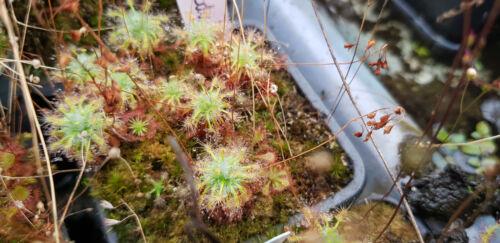 Drosera enodes Austral Pigmeo vita delle piante carnivore 3x