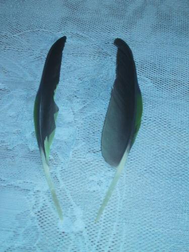 Papageienfeder pares loro resorte 1 par Amazone impulso plumas exterior