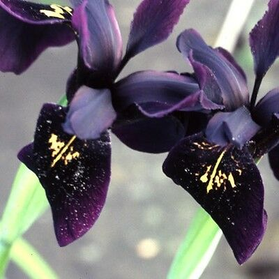 Flower - Iris Chrysographes - Black Gold - 10 Seeds