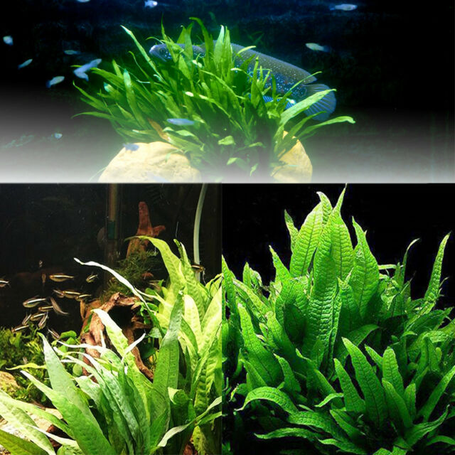 JAVA FERN AQUARIUM AQUATIC FISH TANK  PLANTS TROPICAL LIVE COLDWATER FRESH PLANT