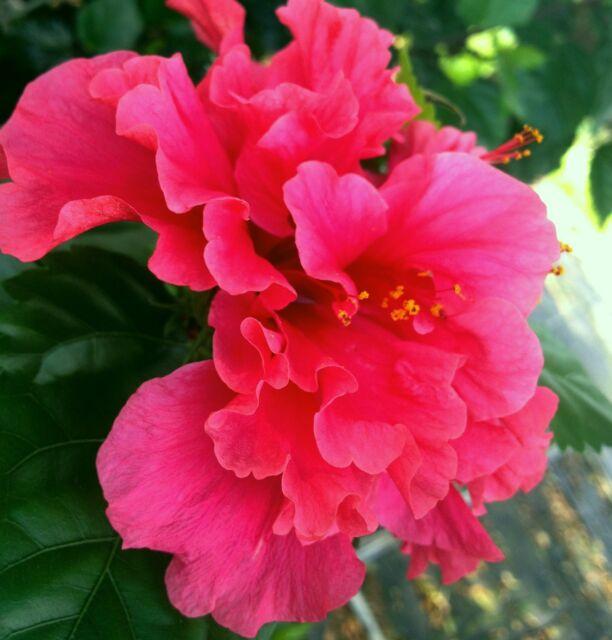 Triple Bloom Hibiscus | Keith Kerr | Flickr |Triple Hibiscus